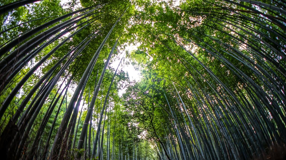La forêt de bambous | Kyoto