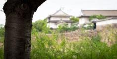 Cigale Japon