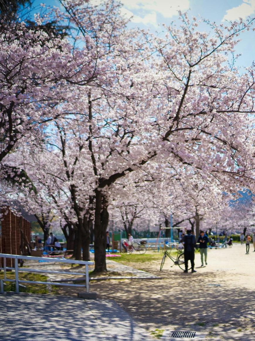 Printemps Osaka hanami cerisier