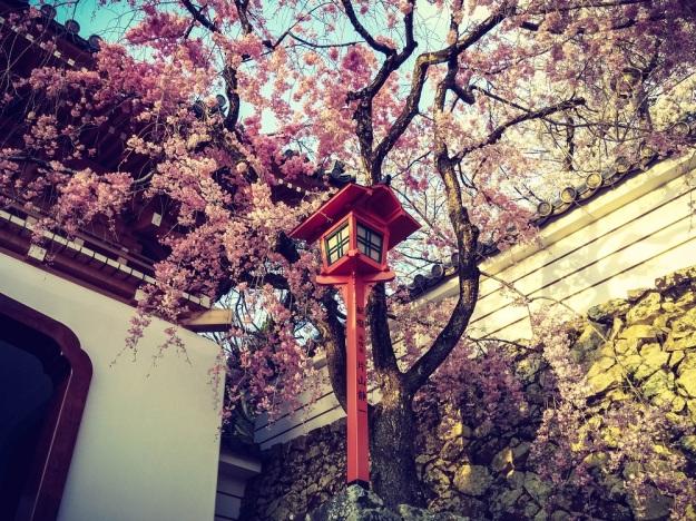 IMG_20170412_174827Osaka cerisiers Japon