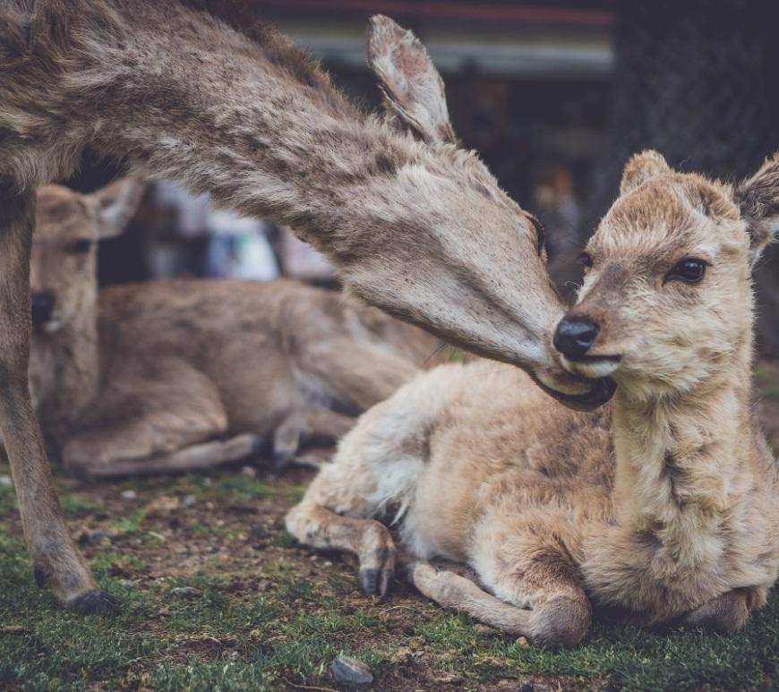 Biche de Nara, Japon